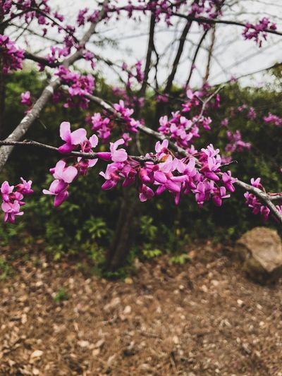 Buds blooming all one the place Plant Flowering Plant Flower Fragility Beauty In Nature Freshness Vulnerability  Growth Pink Color No People Nature Day Focus On Foreground Close-up Tree Blossom Petal Branch Springtime Botany