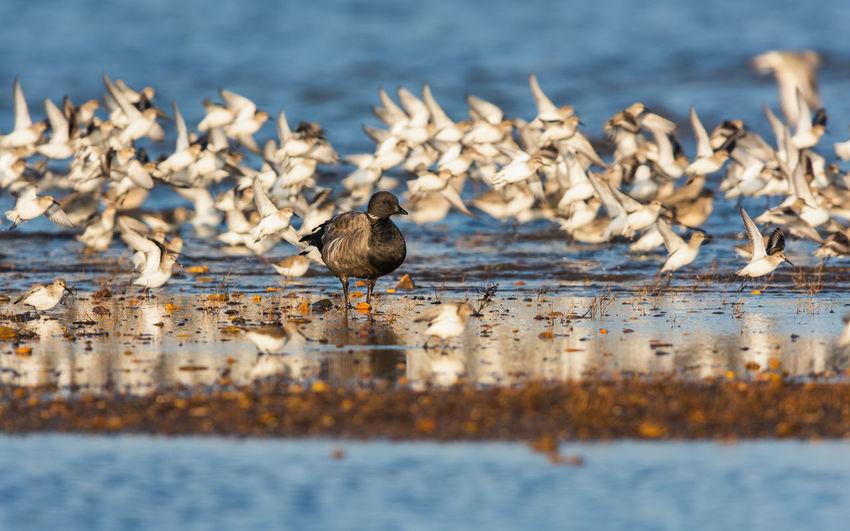 Brent goose branta bernicla in environment