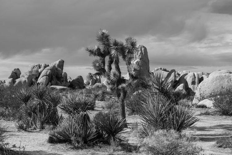 Cactus plants growing in desert against sky