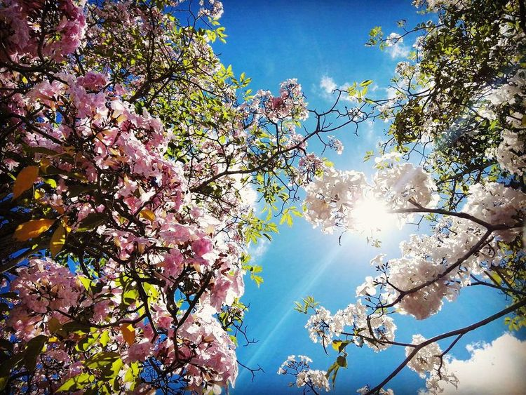 Tree Sky Nature Blue Sunlight Beauty In Nature Multi Colored Summer Low Angle View No People Branch Leaf Environment Sun Growth ScenicsBeauty In Nature Backgrounds Outdoors Day Close-up Flower Nature Pink Flower White Flowers