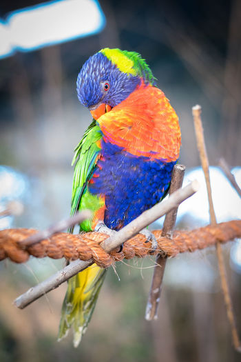Lorikeet bird on rope