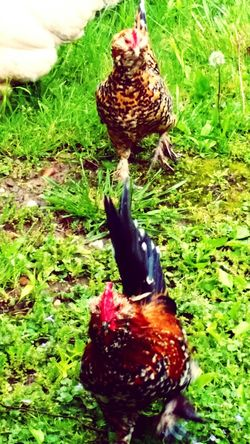 Chickens My Pet Chickens Rooster Hen Chickens >.< Chicken - Bird Chicken. Family❤ Pet Photography  Pet Chickens Outdoors Outdoor Photography Outside Country Girl Country Living Country Life Countrylife