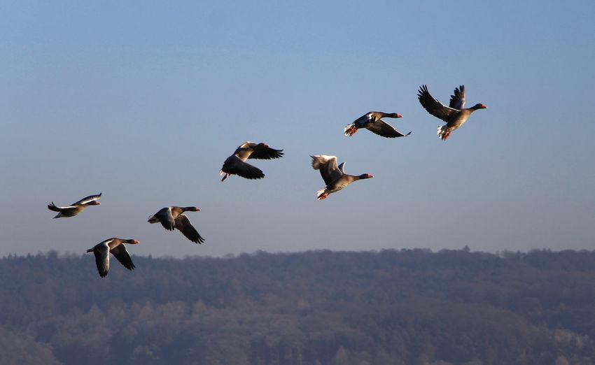 Graugänse im Flug Animal Wildlife Animals In The Wild Beauty In Nature Bird Flying Freedom Graugänse Niederwalgern