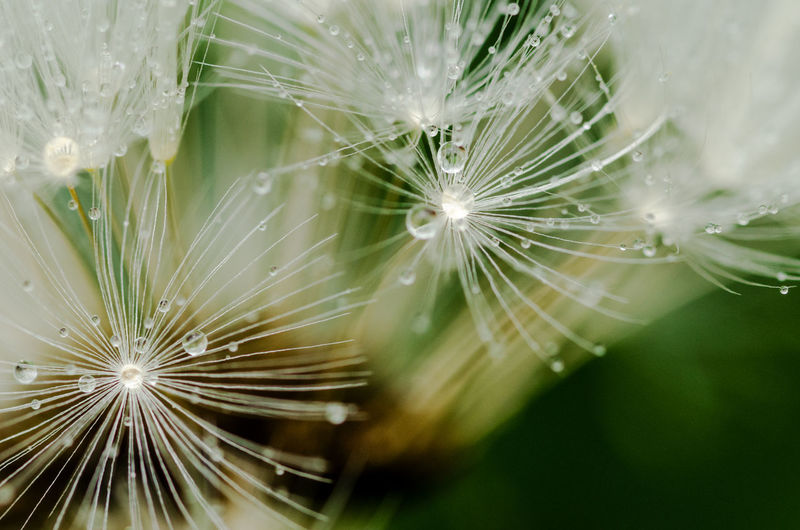 Plant Freshness Growth Close-up Vulnerability  Fragility Flower Dandelion Beauty In Nature Flowering Plant Selective Focus Dandelion Seed Drop Nature No People Inflorescence Wet Water Flower Head Dew Softness Pollen RainDrop