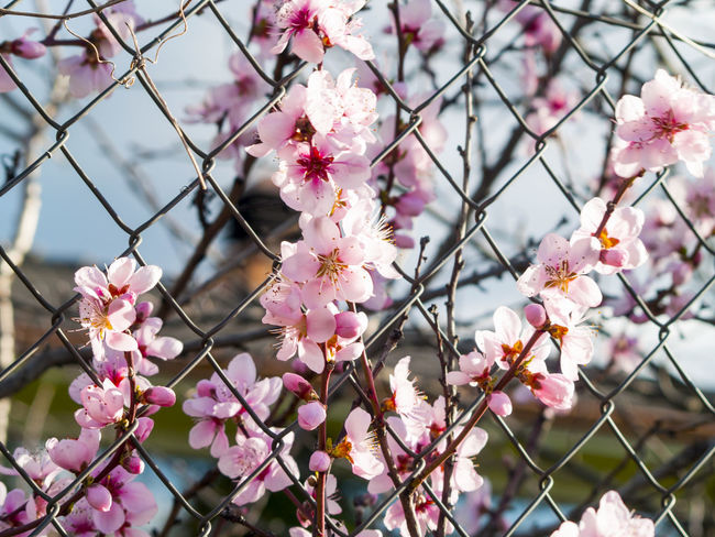 Almond Almond Blossom Almond Tree Beauty In Nature Blooming Close-up Contrast Day Fence Flower Flower Head Focus On Foreground Fragility Freshness Growth Metal Metallic Fence Nature No People Outdoors Petal Pink Color Spring Springtime Tree