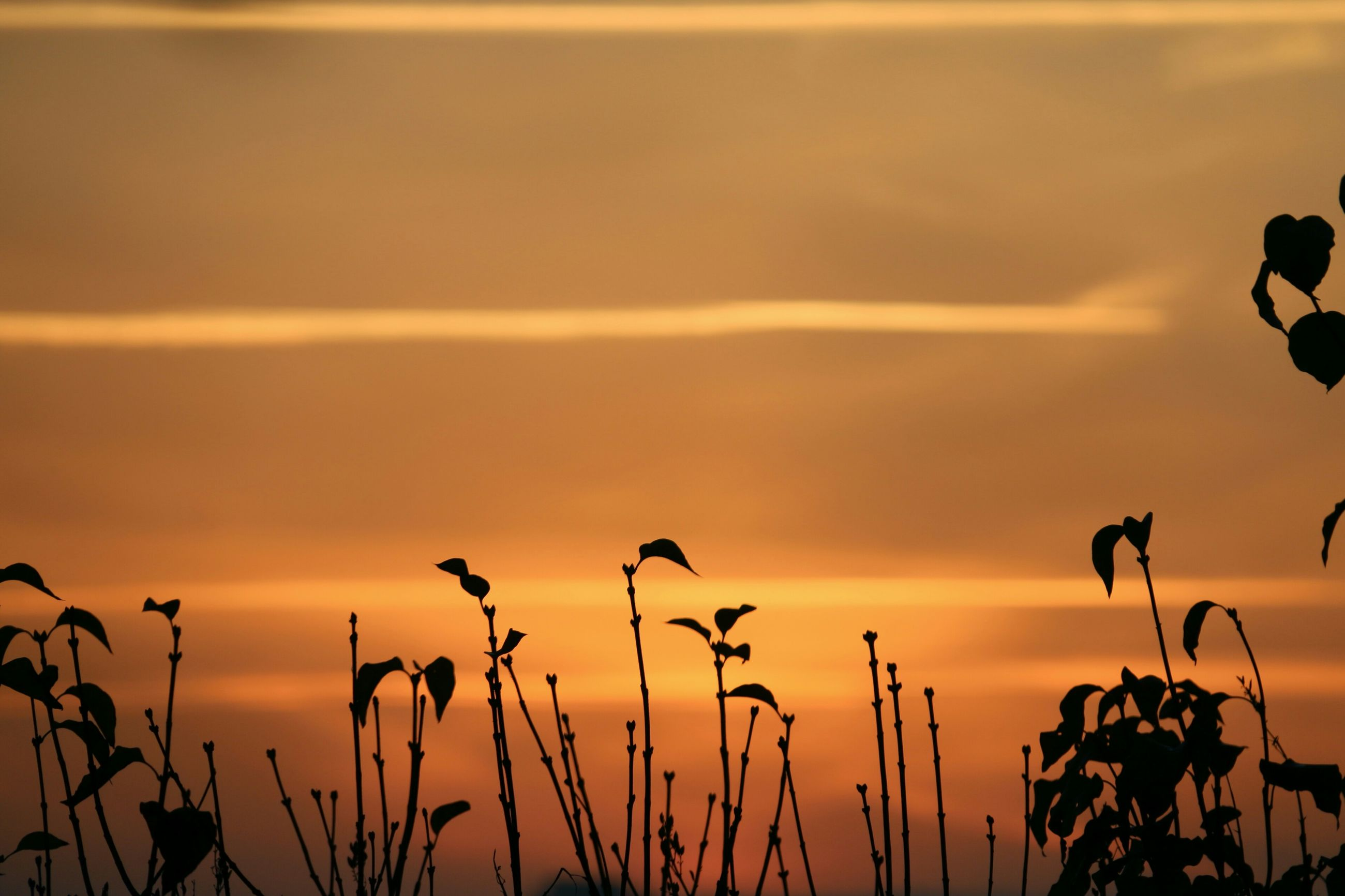 sunset, sky, silhouette, plant, orange color, nature, beauty in nature, growth, tranquility, focus on foreground, cloud - sky, stem, scenics, tranquil scene, field, low angle view, cloud, outdoors, no people, close-up