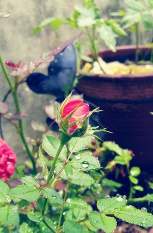 Rose - By Alessandro Soler Roses Rosé Love Vintage Style Brazil São Paulo City I Love Take A Picture Plant Nature Leaf Growth No People Outdoors Flower