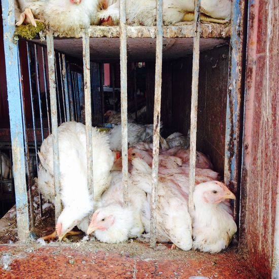 #Blue #chicken #hens #market #morocco #Repost #White Animal Outdoors Scenics No People Life Colors