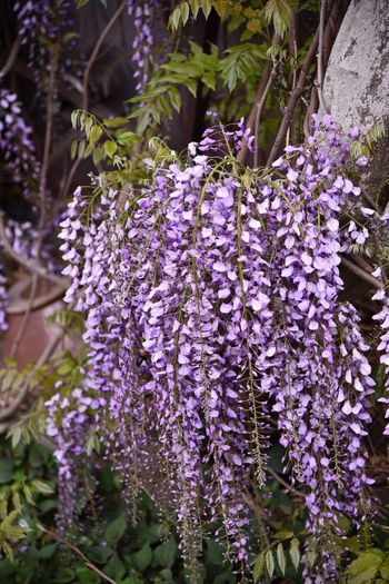 Wisteria Flower Nature Photography Colors Snapshots Japan Snapshot Snapshots Of Life Spring Flowers Flower Collection