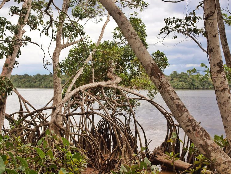 Mangrove Beauty In Nature Water Suriname Nature Photography Nature No People Tree Sky