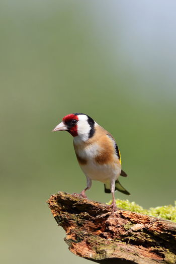 Beautiful Nature Bird Photography EyeEm Nature Lover Nature Nature Photography Animal Themes Animals In The Wild Beauty In Nature Beauty In Nature Bird Birds Birds_collection Goldfinch Nature Nature_collection One Animal Perching Vertebrate