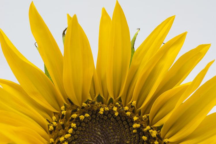 Sunrise Sunflower Flower Head Flower Yellow Beauty Petal Full Frame Stamen Springtime Pollen Sunflower Flowering Plant Pistil Plant Part Focus In Bloom Botany Blossom Tropical Flower