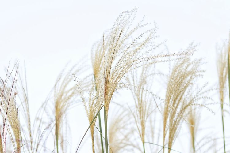 Close-up of stalks against clear sky