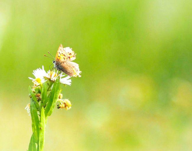 傷ついたって…もう一度飛んでいける ベニシジミ 蝶々 Butterfly - Insect Butterfly Collection Insect Collection EyeEm Nature Lover Green Nature EyeEm Best Shots EyeEm Gallery Eyemphotography EyeEm Best Shots - Nature 日だまり