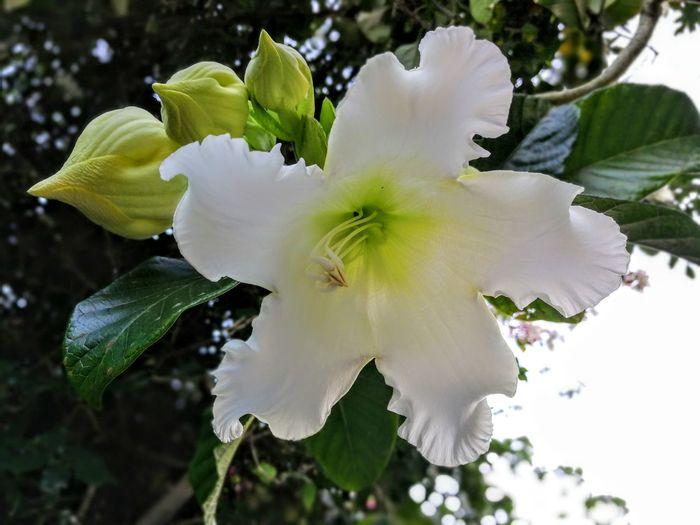 Flowers,Plants & Garden Takuapa White Flower