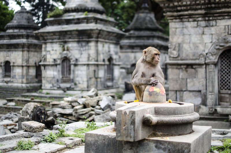 ASIA Hindu Hinduism Nepal Ruins Spirituality Animal Animal Themes Animals In The Wild Architecture Belief Building Exterior Built Structure Day History Monkey No People One Animal Outdoors Place Of Worship Religion Rocks Stone Material Temple