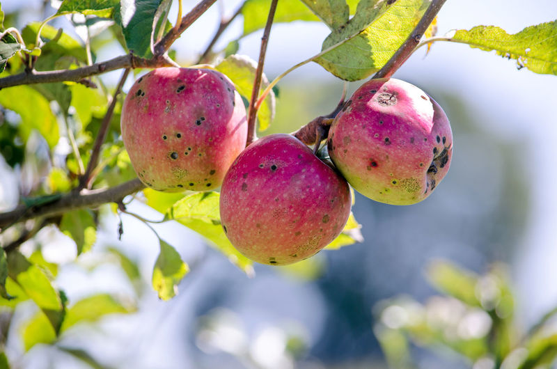 organic apples with the scabies disease rot on a tree in a Michigan orchard Agriculture Diseased Plant Apple - Fruit Branch Close-up Food Food And Drink Freshness Fruit Growth Hanging Leaf Low Angle View Nature No People Not Sprayed Organic Outdoors Red Rotting Scabies Tree