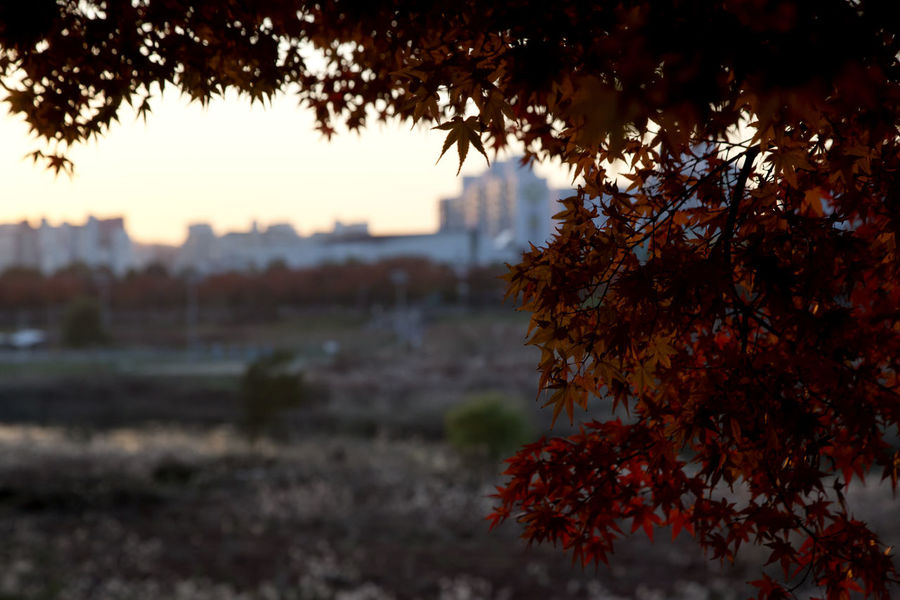 autumn at Anyangcheon in Seoul, South Korea Anyangcheon Autumn Fall Beauty Autumn Autumn Color Beauty In Nature Branch Close-up Day Fall Focus On Foreground Growth Leaf Nature No People Outdoors Plant Sky Tranquility Tree