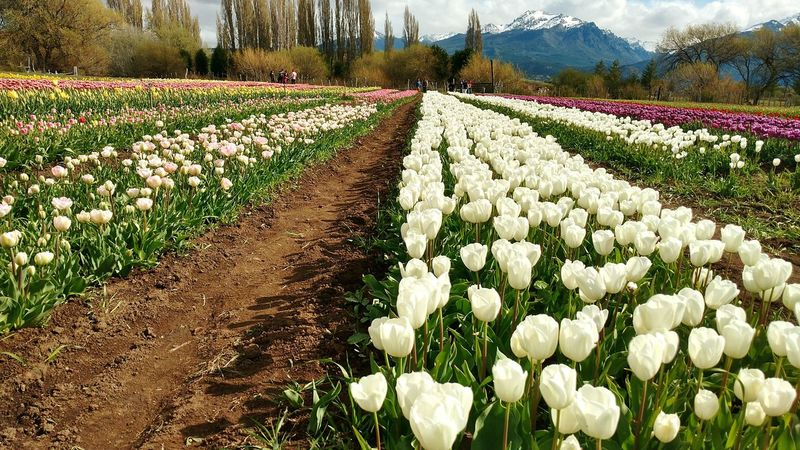 Tulips Tulipanes Trevelin Chubut Argentina Cultivo Flower Flowerslovers Springtime Agriculture Plant White Rural Scene