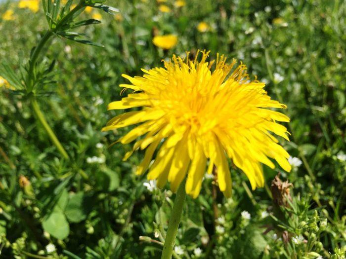 Löwenzahn - dandelion Plant Flower Yellow Flowering Plant Vulnerability  Fragility Growth