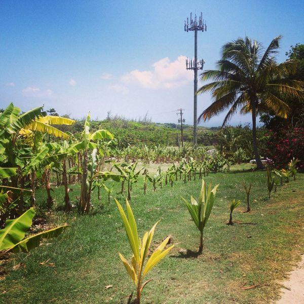 Island Life Barbados Nature Palm Trees