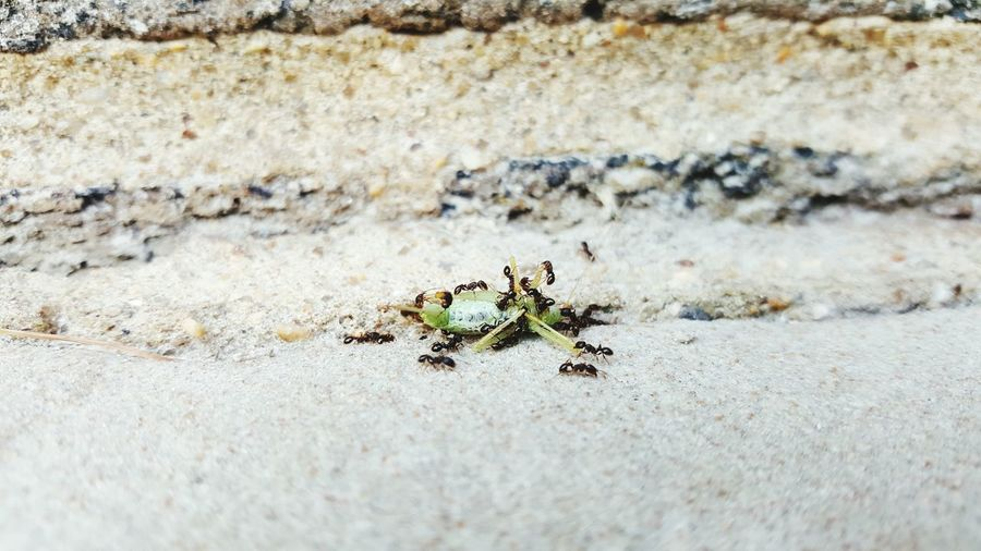 Ants feeding on insect