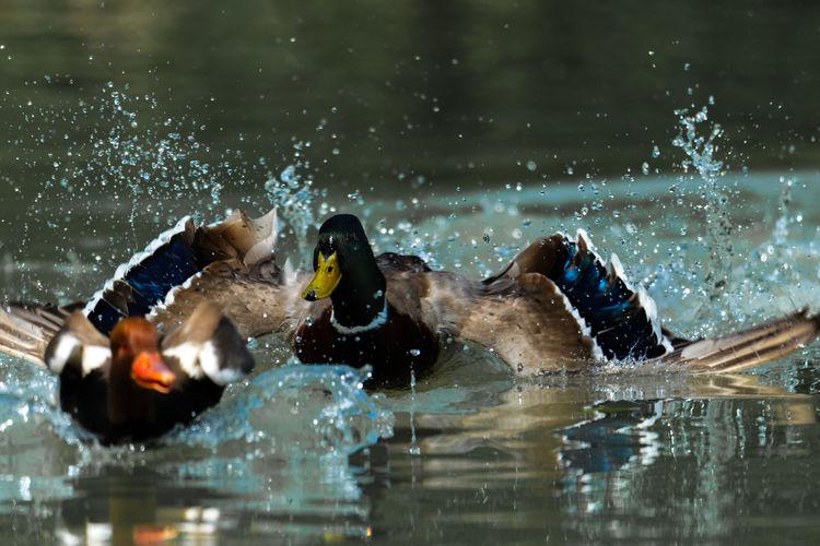 Ducks swimming in pool