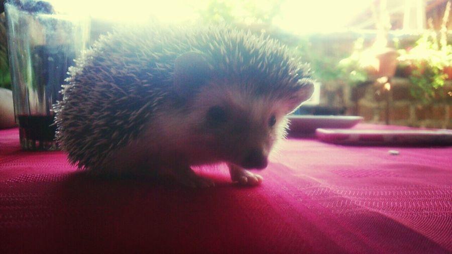 Hedgehog Erizodetierra Ilovemyhedgehog