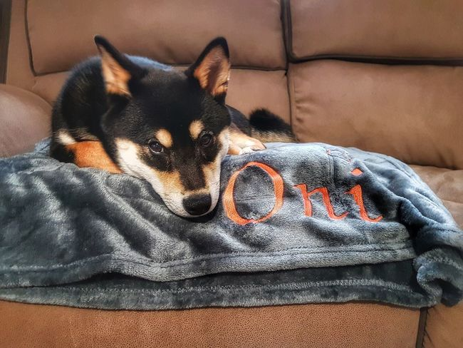 Such a beautiful boy ❤ Bedtime Shiba Inu Dogs Of EyeEm Puppy Shiba Inu LOVE EyeEm Selects Pets Dog Bed Home Interior Close-up Blanket Wrapped In A Blanket