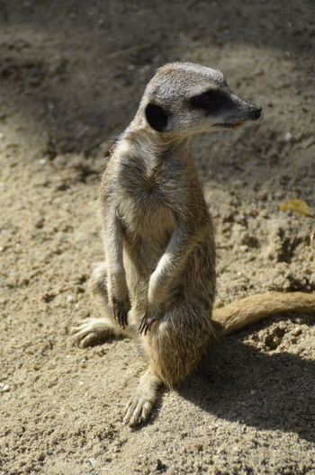 View of meerkat on field