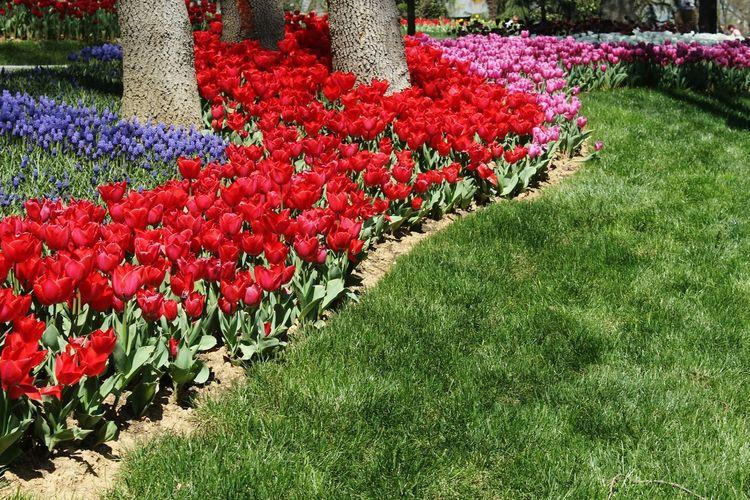 Red tulip flowers in park