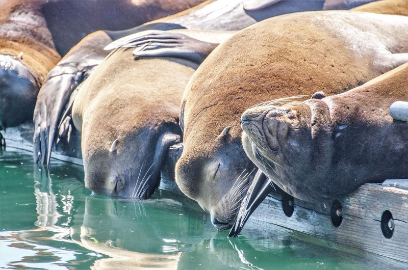 Animal Themes Animal Wildlife Animals In The Wild Aquatic Mammal Day Mammal Nature No People Outdoors Relaxation Sea Sea Life Sea Lion Seal Seal - Animal Swimming Water