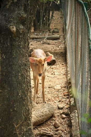 Deer On Field By Fence At Zoo