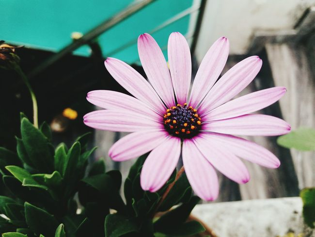 Flower Nature Fragility Flower Head Beauty In Nature Pink Color Freshness Blooming No People Zinnia  Osteospermum Day Outdoors Petal Close-up Plant Pollen Purple