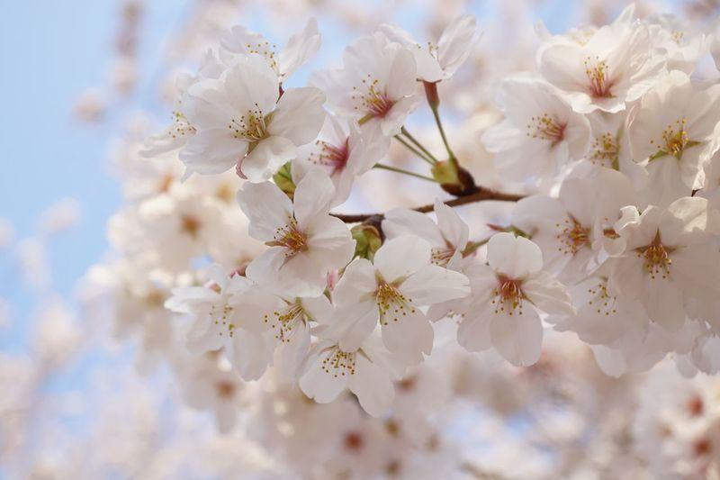 Flowers Cherry Blossoms Sakura Flower Fragility Blossom Springtime Petal Freshness Close-up