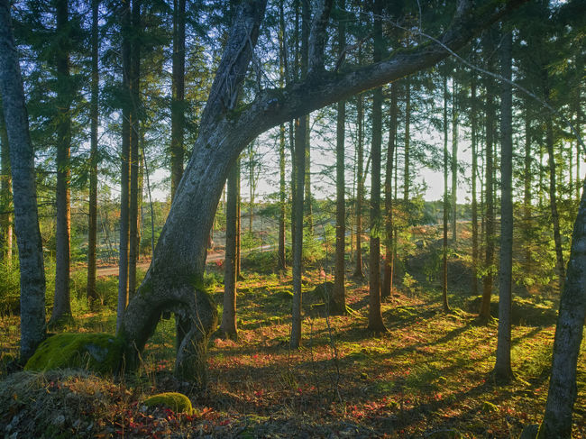 Finland Autumn Beauty In Nature Day Forest Grass Growth Landscape Nature No People Outdoors Scenics Tranquil Scene Tranquility Tree Tree Trunk WoodLand