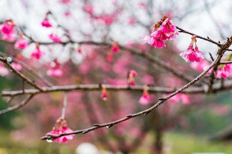 Beauty In Nature Blooming Blossom Botany Branch Close-up Day Flower Flower Head Focus On Foreground Fragility Freshness Growth Nature No People Outdoors Petal Pink Color Plum Blossom Springtime Tree Twig