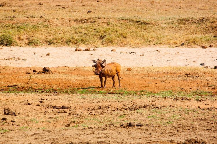 Wild boar on field at tsavo east national park