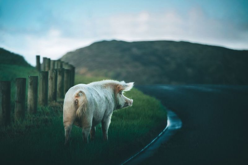 Wild pig Getty Images EyeEm Best Shots EyeEmNewHere Full Frame EyeEm Nature Lover Pig 😚 Wildlife Wildlife & Nature Domestic Animals Domestic Animal Animal Themes Pets Mountain One Animal Livestock Vertebrate Cloud - Sky Sky Nature Landscape Standing Mountain Range Outdoors