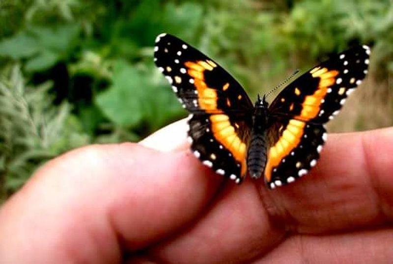 Butterfly Human Finger Butterfly - Insect Human Hand Insect Holding Animal Wildlife Close-up Day Outdoors