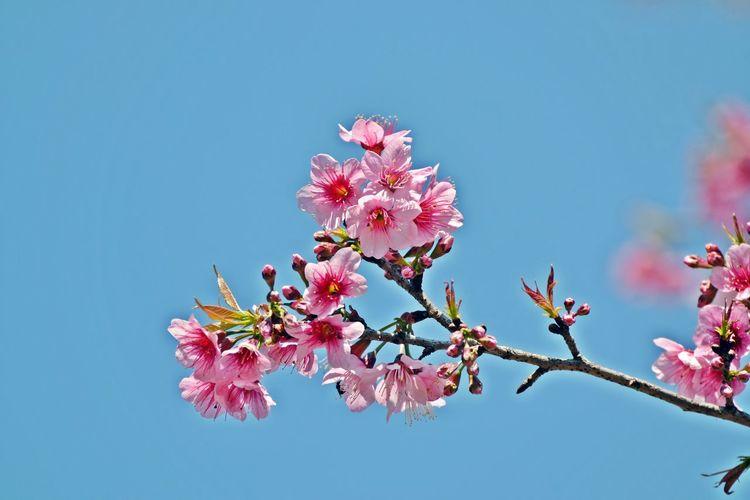 Blooming Blossom Flower Nature Petal Pink Color Tree Twig ดอกพญาเสือโคร่ง