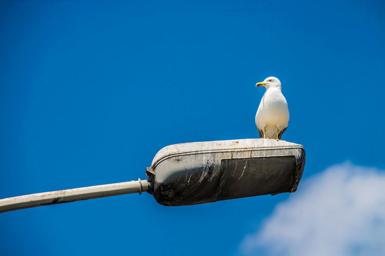Low angle view of seagull on street light against blue sky during sunny day
