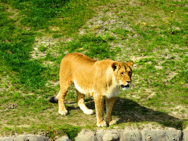 Alertness Animal Animal Themes Beauty In Nature Brown Day Field Grass Grassy Green Color Growth Landscape Lion Lioness Mammal Nature No People Outdoors Plant Portrait Wildlands  Zoo