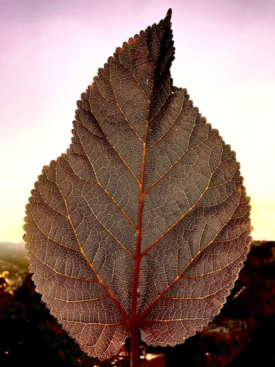 Close-up of autumnal leaves against sky during sunset