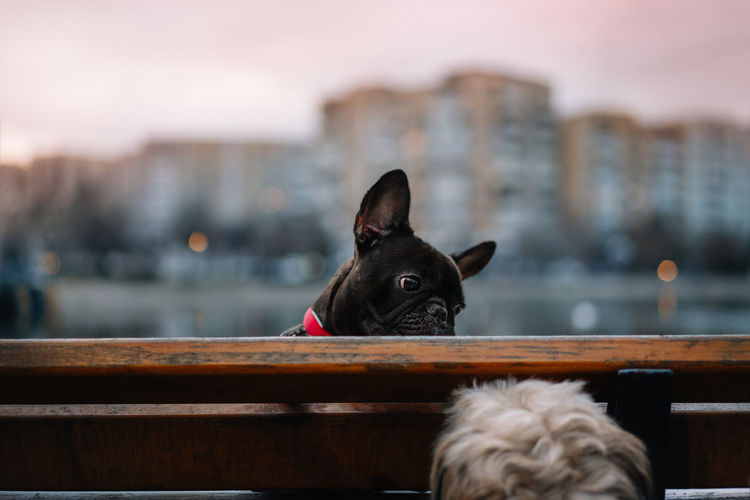 Close-up of a french bulldog dog on a bench in the park