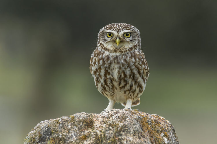 Athene Noctua Animal Animal Eye Animal Themes Animal Wildlife Animals In The Wild Bird Bird Of Prey Close-up Day Focus On Foreground Front View Full Length Little Owl Looking At Camera Nature No People One Animal Outdoors Owl Perching Portrait Vertebrate Yellow Eyes