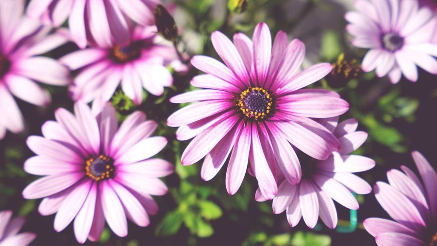 The Beauty of Nature Yellow Purple Pink Popping Up Colorful Pattern Flower Flowering Plant Plant Petal Osteospermum Freshness The Still Life Photographer - 2018 EyeEm Awards Beauty In Nature Close-up Day