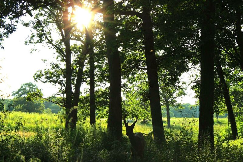 Tree Nature Sunlight Sunbeam Beauty In Nature Field Green Color Outdoors Tranquility Landscape Scenics Sun Growth Grass Sky Deer Fortsheridan Fortress