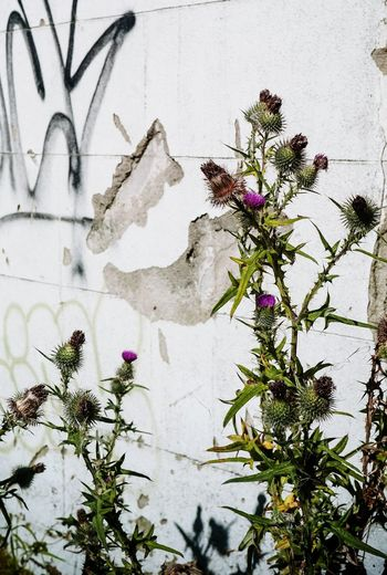 Flower Day Built Structure Tree Outdoors Close-up Architecture No People Plant Building Exterior Growth Nature Branch Freshness Nature Plant Graffiti Derelict & Abandoned Wall - Building Feature Abandoned Abandoned Buildings Thistle Derelict Derelict Building