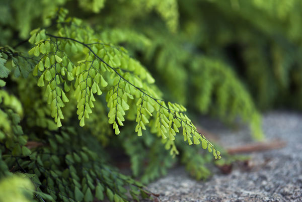 Delicate maiden hair fern leaves hang above the ground in summertime. Botanical Botany Branch Branches Detial Environment Fern Ferns Foliage Forest Growth LAE Nature Outdoors Peace Plant Plant Season  Seasonal Spring Springtime Summer Texture Vintage Woods